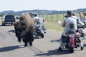 A buffalo standing in the middle of the road with motorcyclist stopped around it